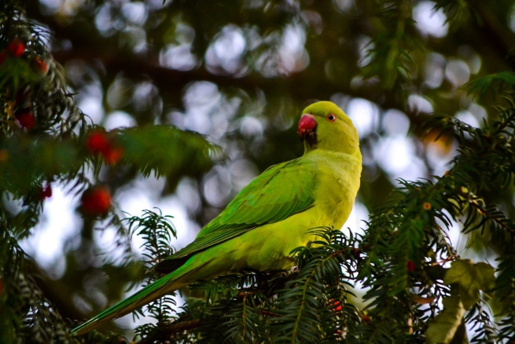 The Story of the Green Parrots in Düsseldorf - Life in